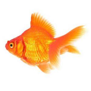 金魚・琉金