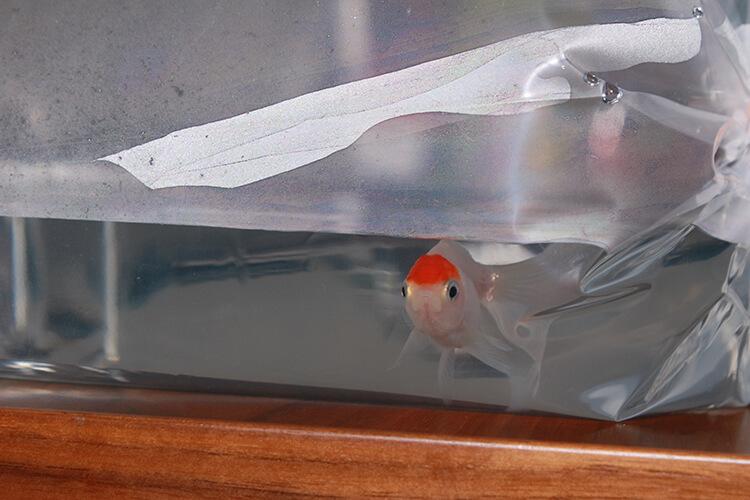 導入前の金魚