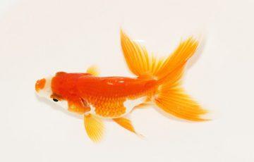 日本の金魚