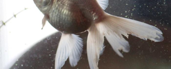 尾ぐされ病の金魚