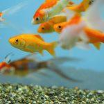 金魚の混泳