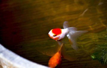 金魚と水温