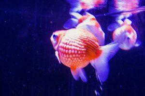 ピンポンパール 金魚