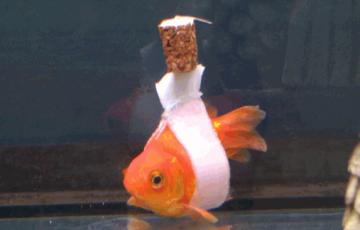 金魚の手当