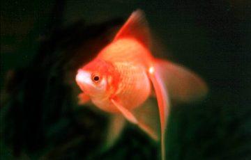 小さい飼育容器で金魚