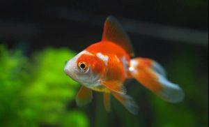 金魚、琉金
