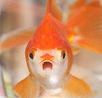 ブログランキングの金魚の顔