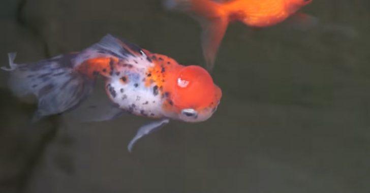 トロ舟金魚