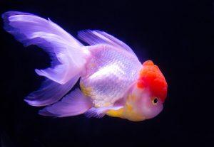 丹頂、金魚