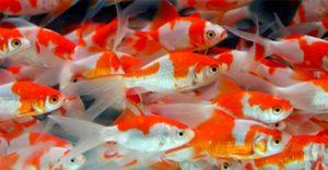 金魚がいっぱい