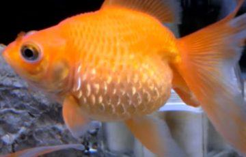 松かさ病の金魚