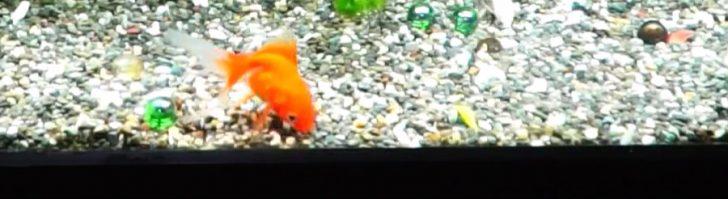 金魚の底砂
