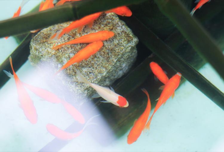 和金型の金魚