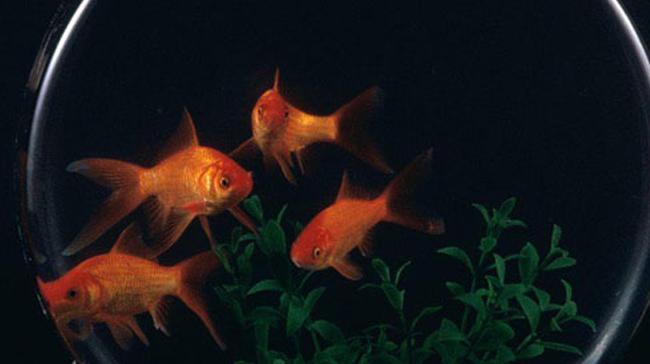 うごかない金魚
