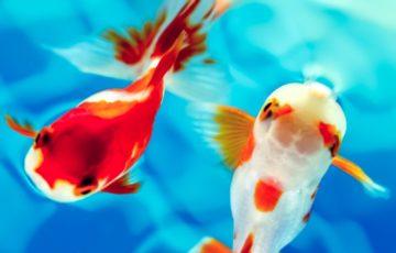 可愛い金魚ベアタンク