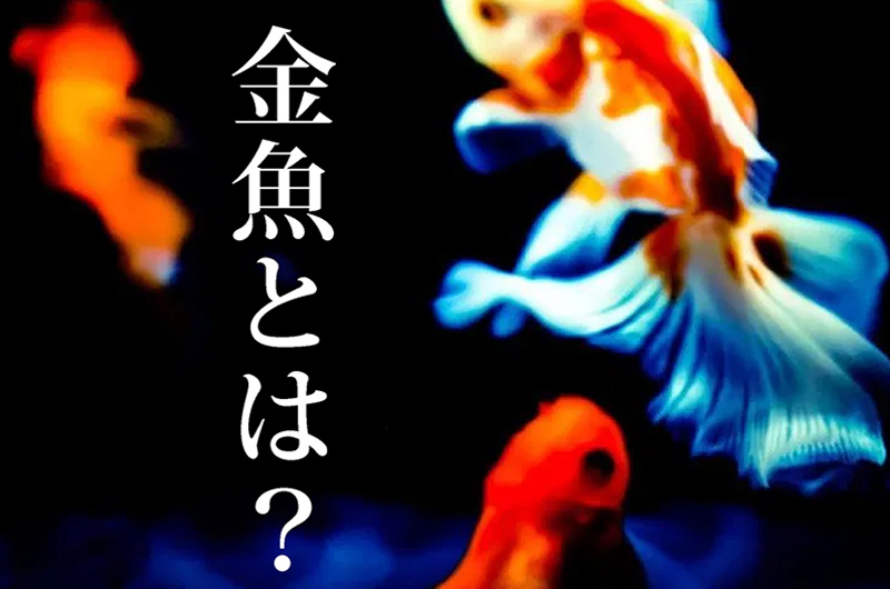 金魚ってどんな魚?