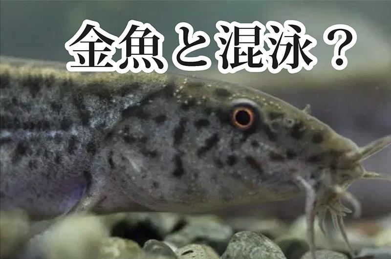 金魚と混泳できる生体