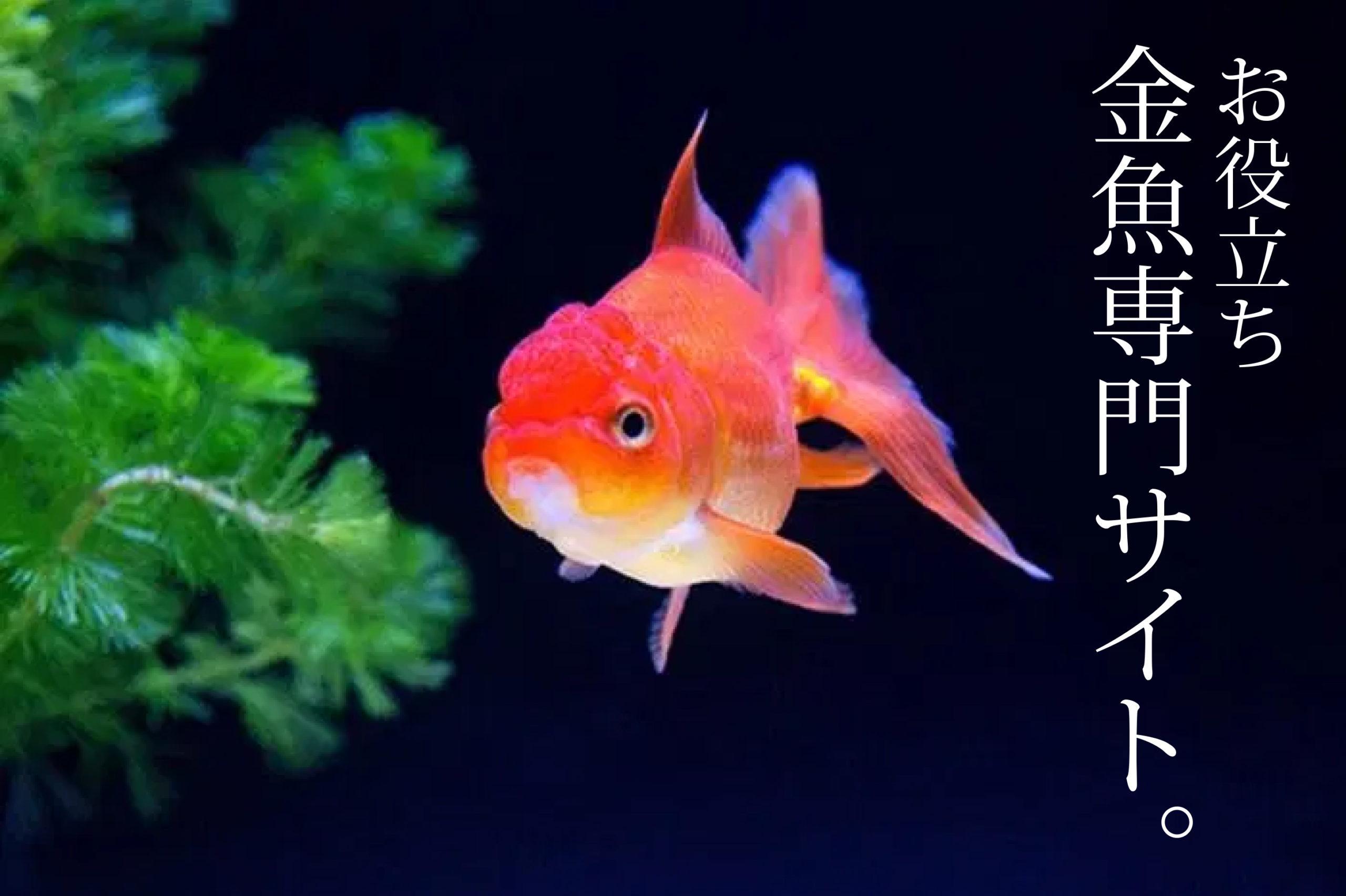 金魚専門サイト 本日も金魚日和